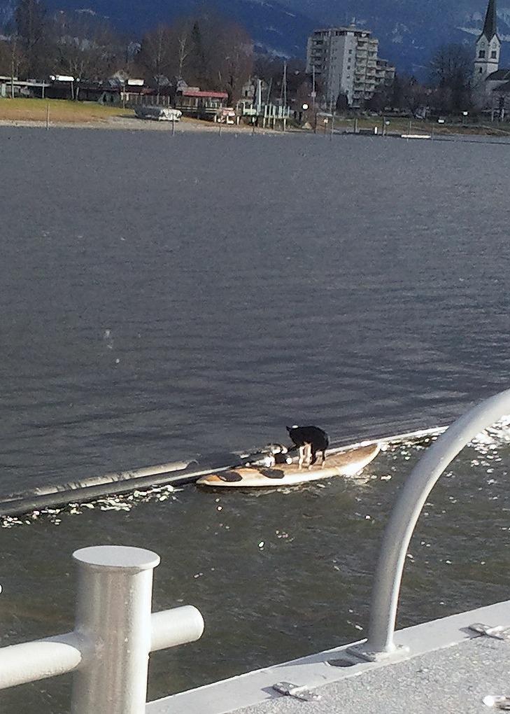 Hund-surfbrett