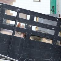 Berkheim - Pkw kollidiert mit Schweinetransporter - drei Verletzte