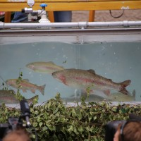 26-07-2014-memmingen-fischertag-fischen-wiegen-koenigsforelle-peta-poeppel-new-facts-eu20140726_0387