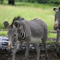 17-06-2015_Tierbilder_Augsburger-Zoo_Poeppel_new-facts-eu0086