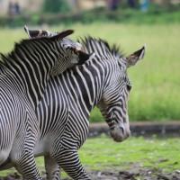 17-06-2015_Tierbilder_Augsburger-Zoo_Poeppel_new-facts-eu0090