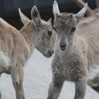 17-06-2015_Tierbilder_Augsburger-Zoo_Poeppel_new-facts-eu0172