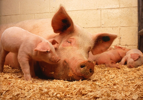 Schweine in Mastbetrieb, über dts Nachrichtenagentur