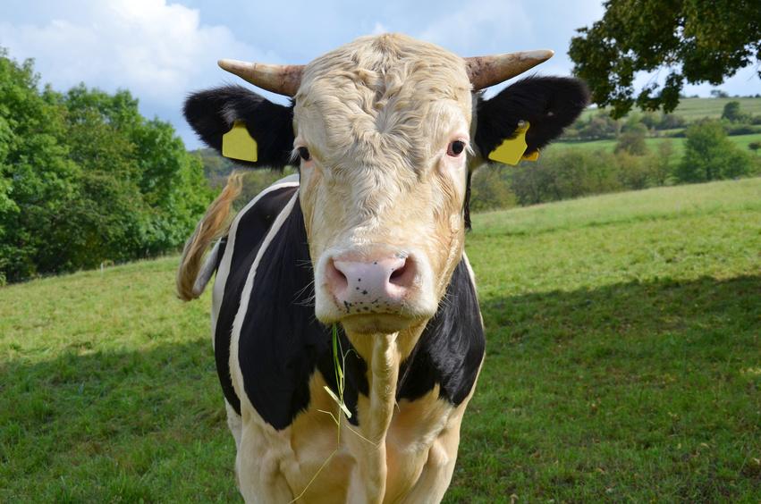 Ein Bulle auf der Weide