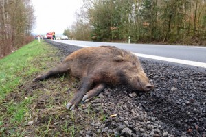 Unfall WildschweinCar accident with wild boar on the road. Overpopulation of wild boars causes many problems.