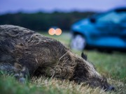 Wildunfall mit Wildschwein in der Dmmerung -  Accident with wild boar in the dawn