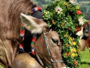 Viehscheid Kuh