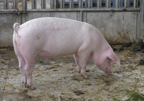 Hausschwein, über dts Nachrichtenagentur