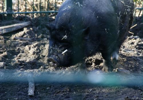 Angler Sattelschwein, über dts Nachrichtenagentur