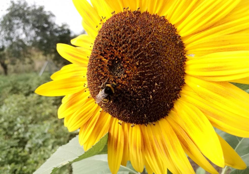 Hummel bestäubt Sonnenblume, über dts Nachrichtenagentur